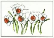 Daffodil300
